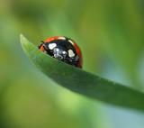 Ladybug climbing on green leaf macro
