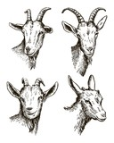 Fototapety goat head. livestock. animal grazing. sketch drawn by hand.