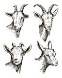 goat head. livestock. animal grazing. sketch drawn by hand. - 137888689