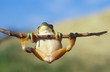 Europäischer Laubfrosch, hyla arborea