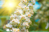blossoming flowers of chestnut closeup, spring