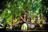 bali giant holy tree with hole to drive through in Tropical jungle