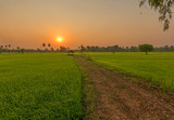 Beautiful view of rice paddy field during sunset in Thailnad. Nature composition