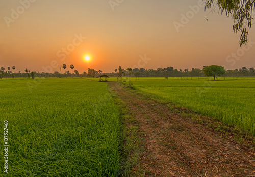 Tuinposter Rijstvelden Beautiful view of rice paddy field during sunset in Thailnad. Nature composition