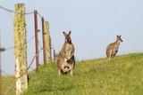 Eastern Grey Kangaroos sitting next to a fence