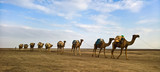 Transportation of salt slabs on camel, Karum lake, Danakil, Afar Ethiopia - 137941695