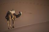 Cammello in fuga nel deserto del Sahara al tramonto