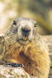 Old Marmot