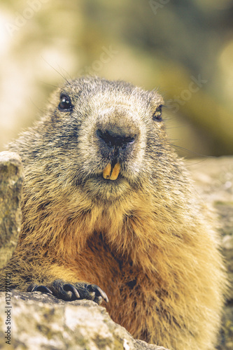 Poster Old Marmot