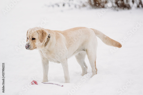 Foto op Plexiglas Antarctica 2 Labrador dog in the snow beautiful winter