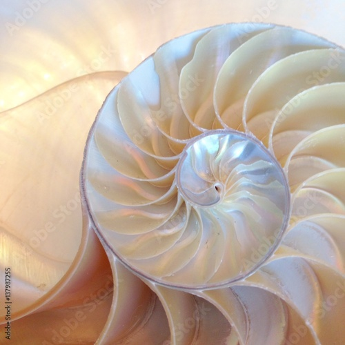 nautilus shell section background symmetry Fibonacci half cross section spiral golden ratio structure growth close up back lit mother of pearl close up copy space