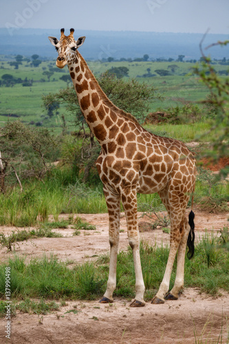 Poster Single giraffe in Murchison Park, Uganda