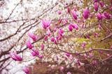 Fototapety Spring magnolia pink  flower blossom tree background. Easter season.