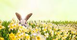 Osterhase versteckt sich auf einer Wiese voller Narzissen