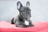 French Bulldog at Rest