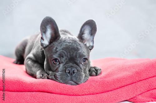 Fotobehang Franse bulldog French Bulldog at Rest