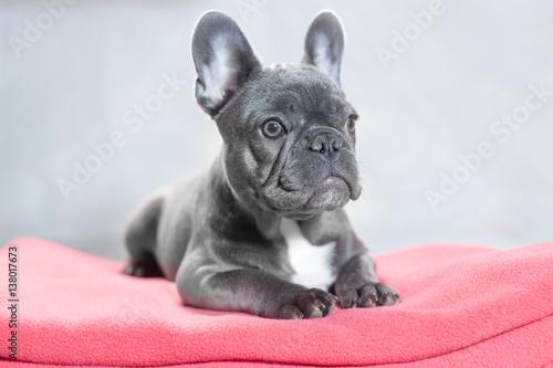 Deurstickers Franse bulldog French Bulldog at Rest