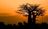 sunset baobab Africa