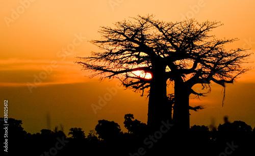 Poster Baobab sunset baobab Africa