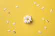 Spring or summer background with copy space for text: chamomiles and petals, white flower with yellow heart in the center. Top view. Flat lay.
