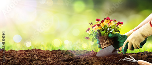 Gardening - Planting A Pansy In Sunny Garden  - 138067641