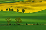 Clones,Yellow rapeseed field with wavy abstract landscape pattern. Moravian rolling landscape on sunset in yellow colors. Moravia, Czech Republic.
