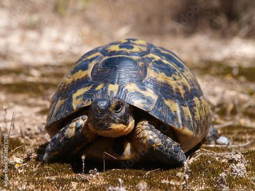 Poster Maurische Landschildkröte (Testudo graeca)