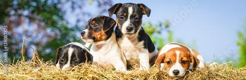 Poster Vier niedliche Hundewelpen auf einen Strohballen, Breitformat