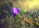 krokusy, crocus,flower,kwiaty - 138093262