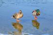 Leinwandbild Motiv Enten auf Eis