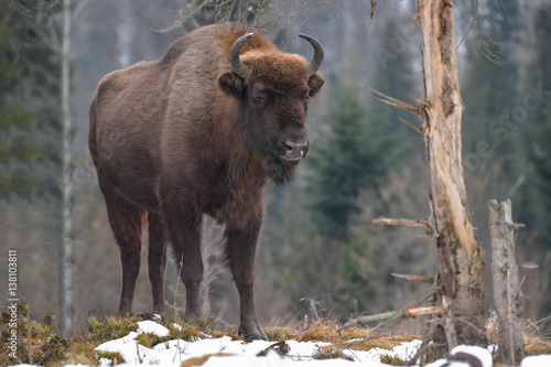 Plexiglas Bison Wild European bison in the forest of the Carpathians