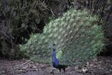 birds, bird, peacock