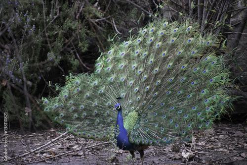 Foto op Aluminium Pauw birds, bird, peacock