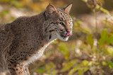 Bobcat (Lynx rufus) Licks Nose