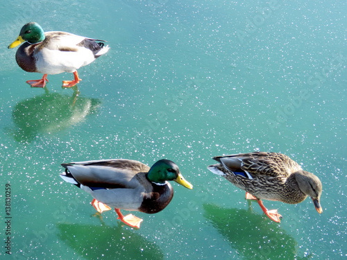 Fotobehang Toronto Toronto Lake the ducks on the ice 2017