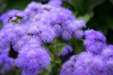 Purple Puffballs