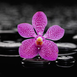 Pink orchid on black pebbles