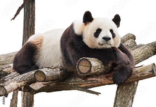 Plexiglas Panda Panda isolated on white