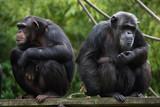 Common chimpanzee (Pan troglodytes) - 138194047