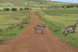 Zebras crossing in Massai Mara, Kenya