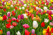 Colorful tulips background. - 138251603