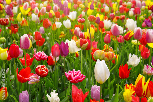Colorful tulips background. Poster