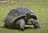 Giant tortoise close up walking on green grass