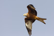 Adlult of Red kite fying. Milvus milvus.