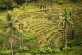 Rice plantation, selective focus