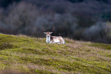 Deer stag with big antlers lying on grassy slope.