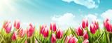 Fototapety Spring tulips in sunlight