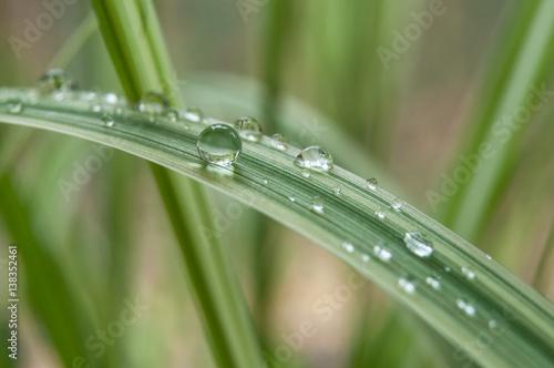 détail gouttes de pluie sur feuilles de bambous