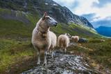 Flock of sheep in summer Scandinavia - 138353620