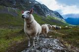 Flock of sheep in summer Scandinavia - 138353654
